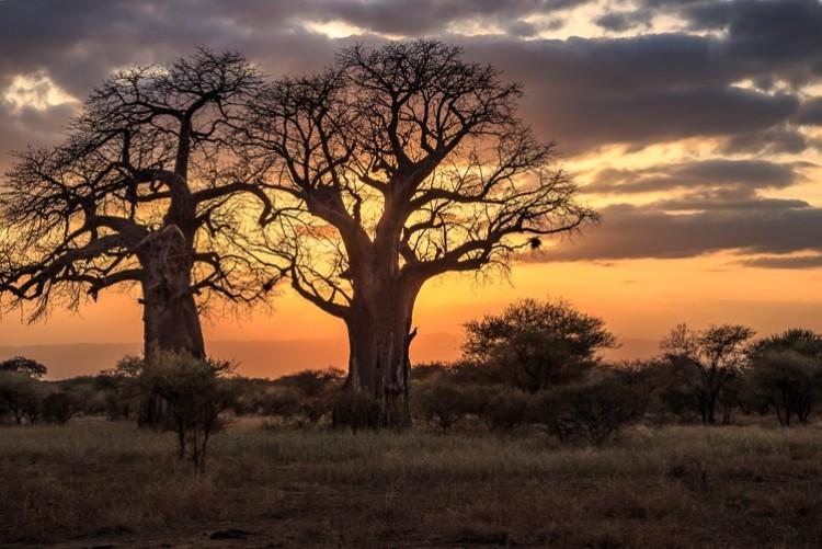 Baobab Tanzanie